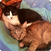 Domestic Shorthair Cat for adoption in Brooklyn, New York - Jake