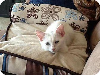 Domestic Shorthair Cat for adoption in Glendale, Arizona - Sophia