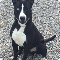 Adopt A Pet :: OMAR (Auburn) Great dog! playful, active - Bainbridge Island, WA