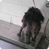 Shih Tzu Dog for adoption in Conroe, Texas - FIREBALL