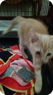 Domestic Shorthair Kitten for adoption in Akron, Ohio - Baby Kitty Chance