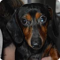 Adopt A Pet :: Brahma - Aurora, CO