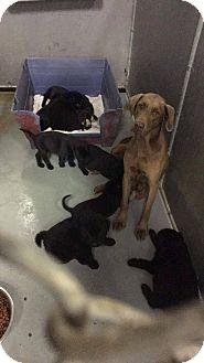 Weimaraner/Retriever (Unknown Type) Mix Dog for adoption in Billerica, Massachusetts - Cassey