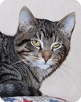 Domestic Shorthair Cat for adoption in Eldora, Iowa - Carson