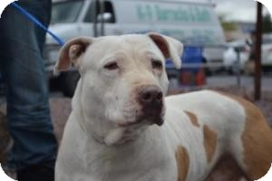 American Pit Bull Terrier Mix Dog for adoption in Las Vegas, Nevada - Leia - N