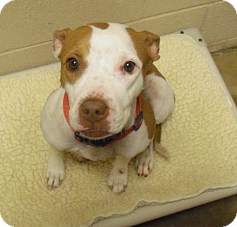 American Pit Bull Terrier Mix Dog for adoption in Wickenburg, Arizona - Bambi