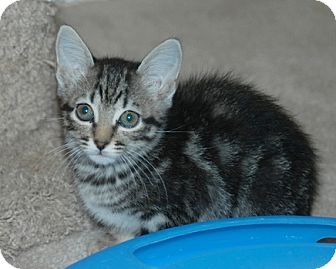 American Shorthair Kitten for adoption in Houston, Texas - Zoey
