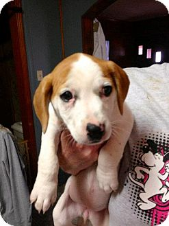 Jack Russell Terrier/Basset Hound Mix Puppy for adoption in Humboldt, Tennessee - Winnie