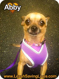 Chihuahua Mix Dog for adoption in Pitt Meadows, British Columbia - Abby