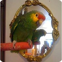 Adopt A Pet :: Pretty Bird - Shawnee Mission, KS