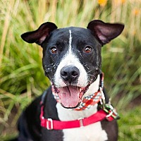 Labrador Retriever/American Pit Bull Terrier Mix Dog for adoption in Peoria, Illinois - Bowser