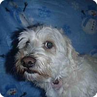 Adopt A Pet :: Bo - Encino, CA