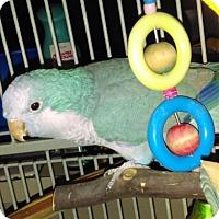 Adopt A Pet :: Jackie Blue - Tampa, FL