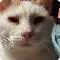Adopt A Pet :: Boston - Hopkinsville, KY