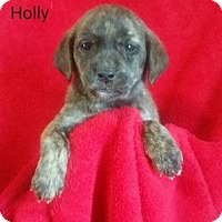 Adopt A Pet :: Holly - Chester, IL