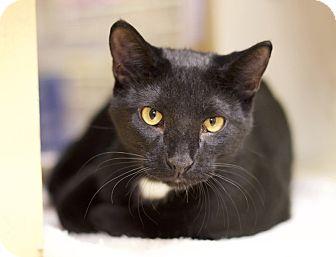 Domestic Shorthair Cat for adoption in Sioux Falls, South Dakota - Radar