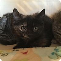 Adopt A Pet :: Tully - Fountain Hills, AZ