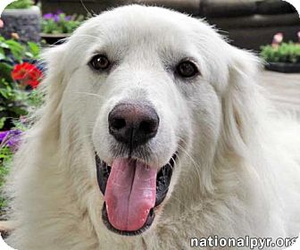 Great Pyrenees Mix Dog for adoption in Beacon, New York - Keeva in MA