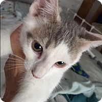 Domestic Shorthair Cat for adoption in Staten Island, New York - Rubeus
