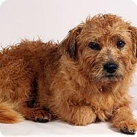 Adopt A Pet :: Thomas Terrier - St. Louis, MO