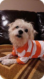 Shih Tzu Mix Dog for adoption in N. Babylon, New York - Scotty
