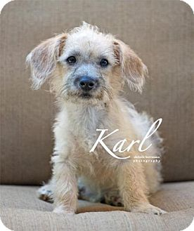 Dachshund Dog for adoption in San Antonio, Texas - Karl