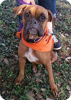 Boxer Dog for adoption in Austin, Texas - Leeon