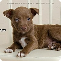 Shepherd (Unknown Type) Mix Puppy for adoption in Denver, Colorado - James