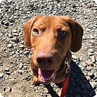 Adopt A Pet :: Simba - Enfield, CT