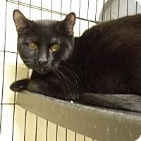Domestic Shorthair Cat for adoption in Berlin, Connecticut - Whiff & flurry