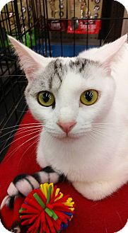 Domestic Shorthair Cat for adoption in Fredericksburg, Virginia - Kokomo
