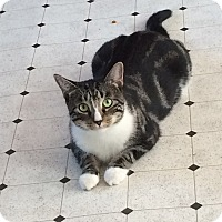 Domestic Shorthair Cat for adoption in Pine Bush, New York - Miss Honey