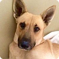 Labrador Retriever/Shepherd (Unknown Type) Mix Dog for adoption in san diego, California - Poppy