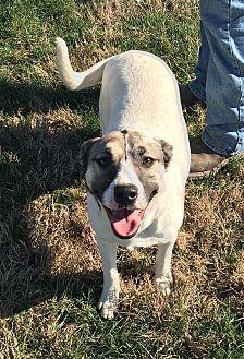 Boxer/Anatolian Shepherd Mix Puppy for adoption in Russellville, Kentucky - Marla