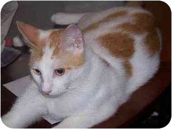 Domestic Shorthair Cat for adoption in Youngsville, Louisiana - Elmer