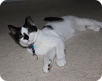 Domestic Shorthair Kitten for adoption in Richmond, Virginia - Bennie