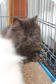 Persian Cat for adoption in Santa Monica, California - Arabica