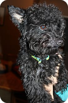 Poodle (Miniature)/Yorkie, Yorkshire Terrier Mix Dog for adoption in Wytheville, Virginia - Toby