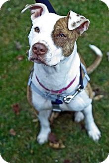 Pit Bull Terrier Mix Dog for adoption in Hillsborough, New Jersey - Nessie