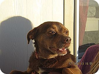 Chihuahua Mix Dog for adoption in Littlerock, California - Monkey