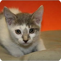 Adopt A Pet :: NICHLAUS - SILVER SPRING, MD