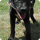Adopt A Pet :: Smokey
