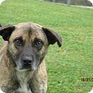 Adopt A Pet :: Rusty Russ