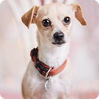 Adopt A Pet :: Coco - Portland, OR