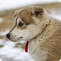 Adopt A Pet :: HARDY - Ile-Perrot, QC