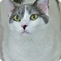 Domestic Shorthair Cat for adoption in Chambersburg, Pennsylvania - Savannah