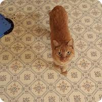 Domestic Shorthair Cat for adoption in Rochester, Minnesota - Elsie