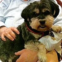 Adopt A Pet :: Phoebe-MEDICAL HOLD - Rockville, MD