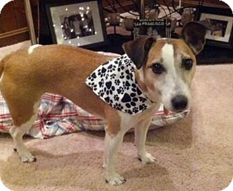Jack Russell Terrier Mix Dog for adoption in Austin, Texas - Molly in Dallas