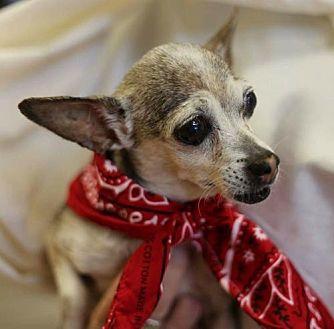 Chihuahua Dog for adoption in Fort Worth, Texas - Sasha